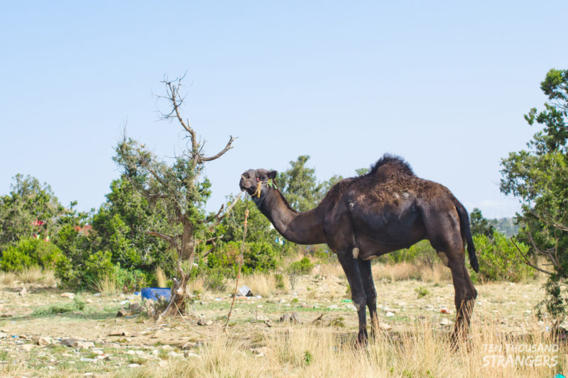 Black Single-Humped Camel in Jabal Sawda, Abha, Saudi Arabia