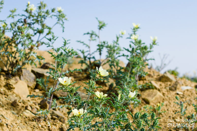 Yellow-flowering Shrubs in Jabal Sawda, Abha, Saudi Arabia