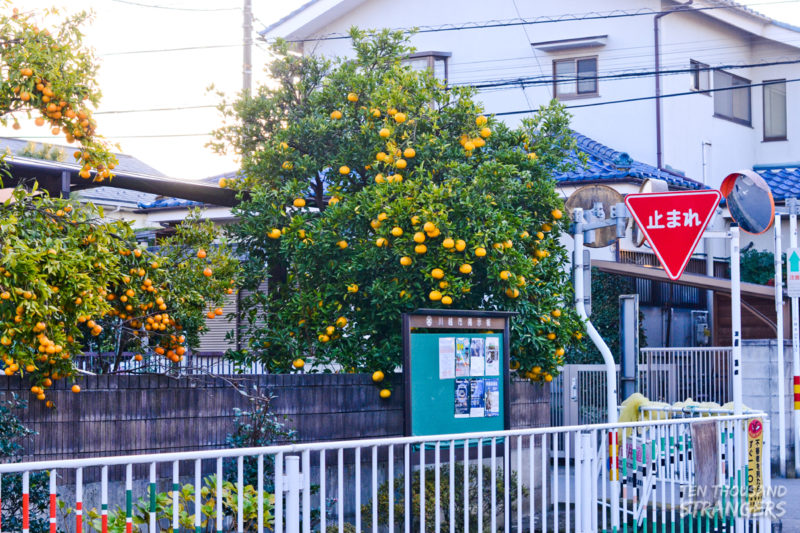 Orange trees on front yards in Kawagoe