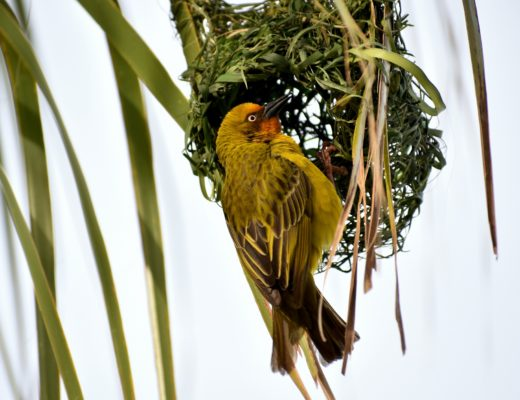 Ruppell's Weaver Bird in Jizan